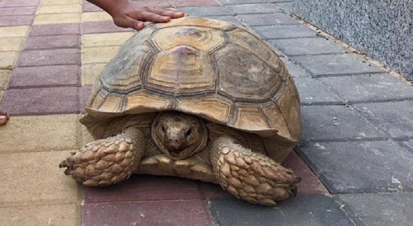 Tortoise-in-Dubai
